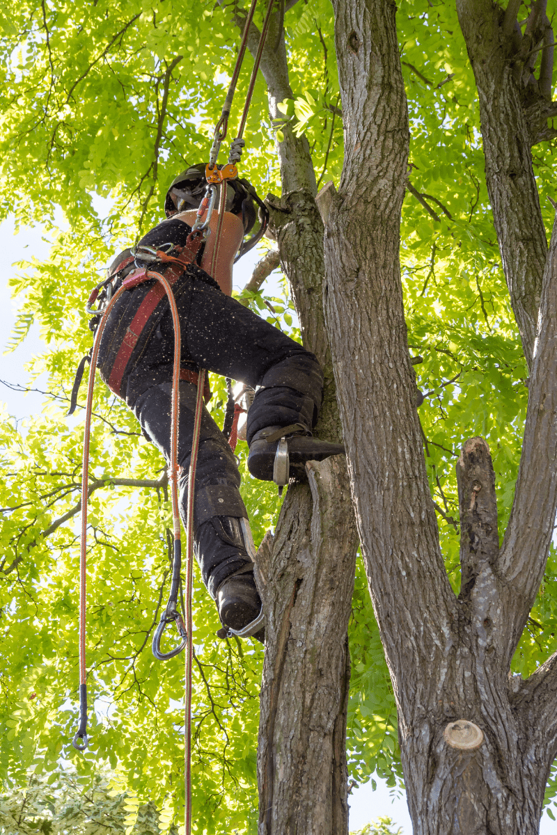 Ipswich Tree Lopping Services